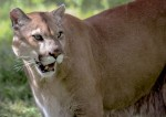 Here's the Florida PANTHER (endangered) By Andrea O'Connell