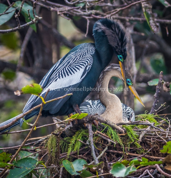Loving Anhinga Couple